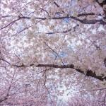 東大阪市内一周お花見ポタリング