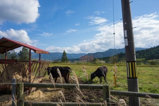 みつえ高原牧場の牛